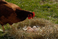 Hen_with_eggs